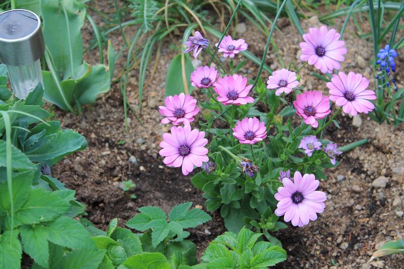 Какие цветы можно посадить под зиму - 20 однолетников-Остеоспермум