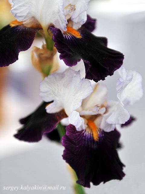 Iris Domino Noir (1).JPG