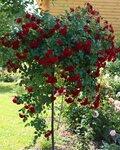 штамбовая роза Scarlet Meillandecor,Meilland Франция, 1987, посадка 2011г.