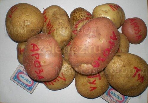 Объективное сравнение сортов картофеля
