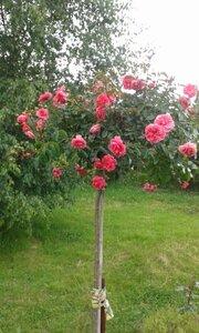 Онлайн проект штамбовые розы