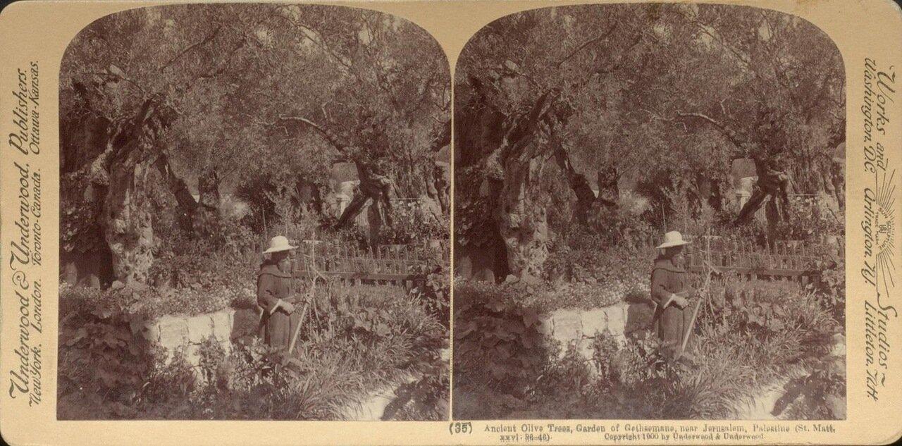 Иерусалим. Древние оливы Гефсиманского сада. 1900