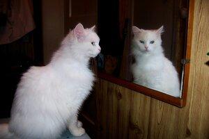 Кошка наблюдает с помощью зеркала.