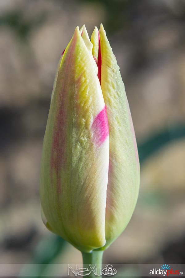 Я люблю все цветы, выпуск 162 | Тюльпаны «Helmb50ar» и «Shirley».