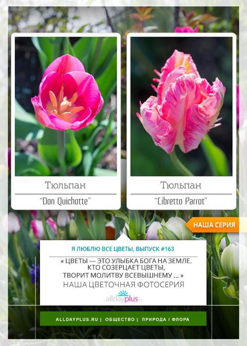 Я люблю все цветы, выпуск 163 | Тюльпаны «Don Quichotte» и «Libretto Parrot».