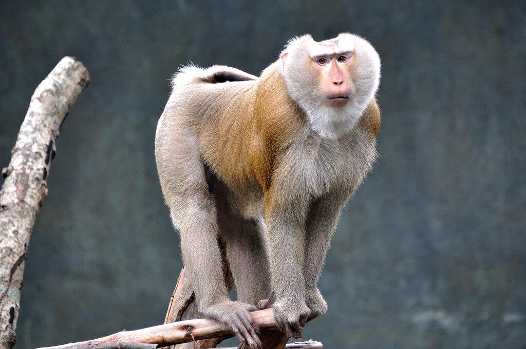 Макака в зоопарке