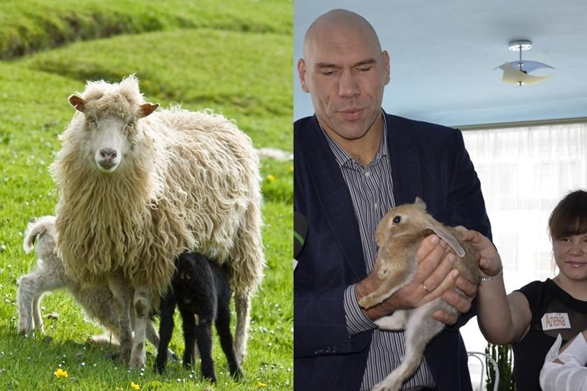 Валуев дарит кроликов, а африканка прячет овец в спальне