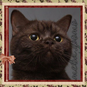 ЧиоЧиоСан (BRI bs) британская короткошерстная кошка шоколадного серебристого окраса