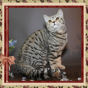 БравоБРИ Иден Бель Тесоро BRI n 24 британская короткошерстная кошка черного черепахового пятнистого окраса