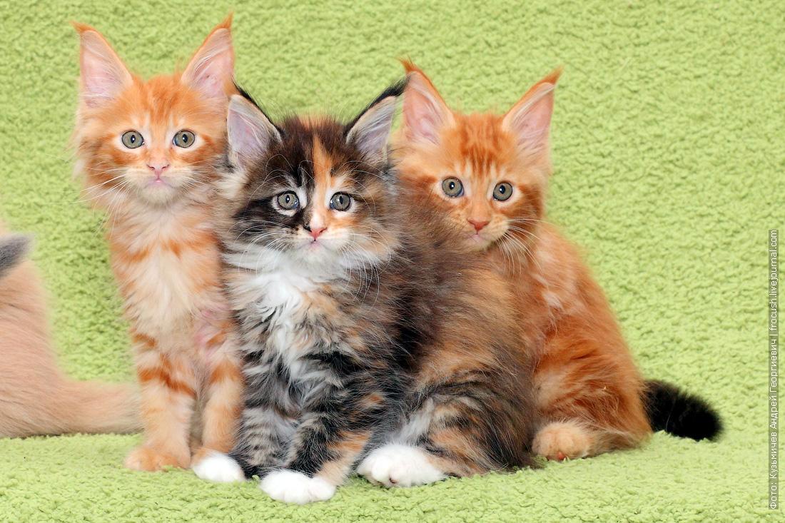 котята мейн-кун цена