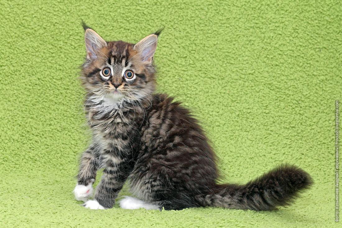 фото котята мейн кун