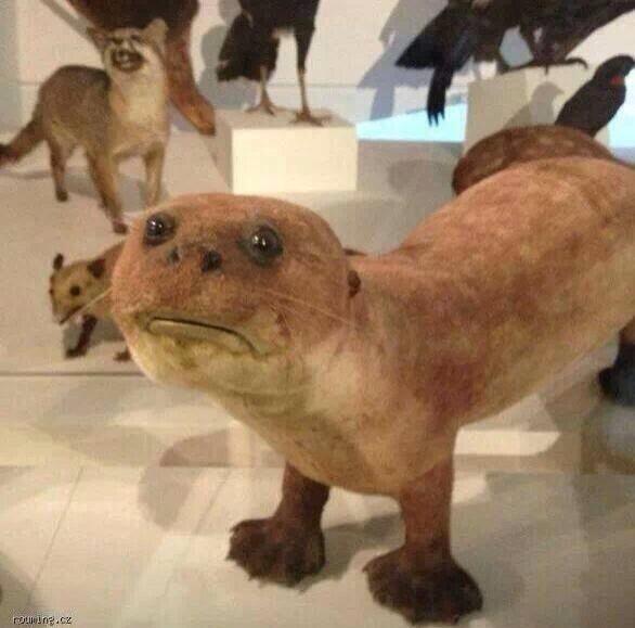 чучело выдры в музее