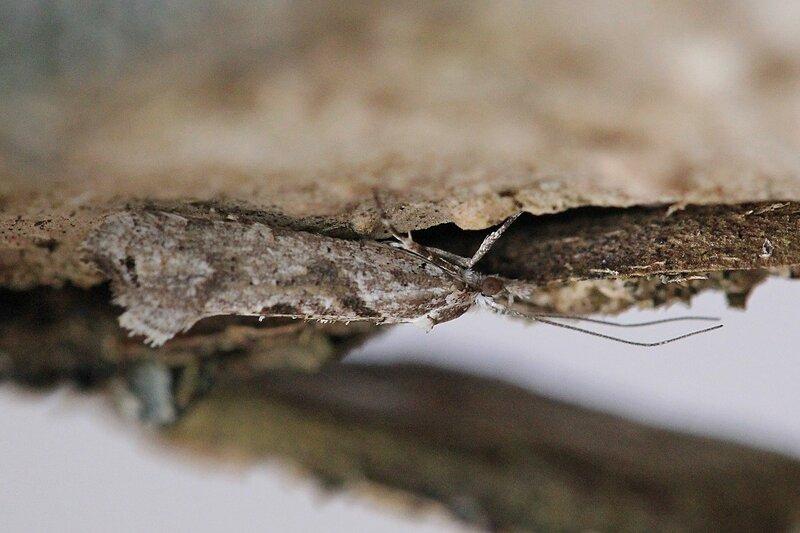 Моль (надсемейство Tineoidea, отряд чешуекрылые) на коре яблони весной