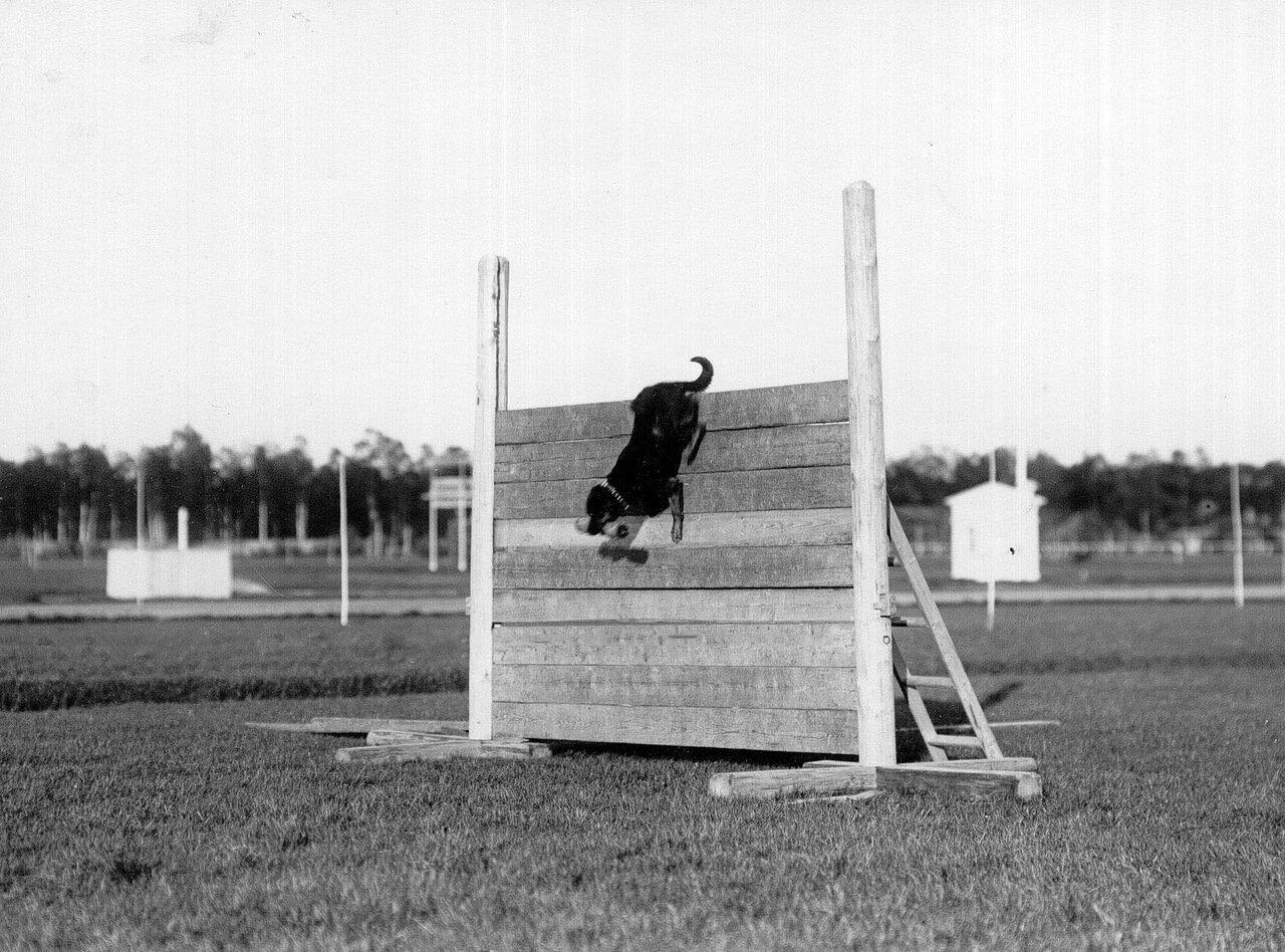 17. Прыжок собаки через барьер во время смотра