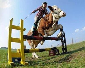 Скачки на корове