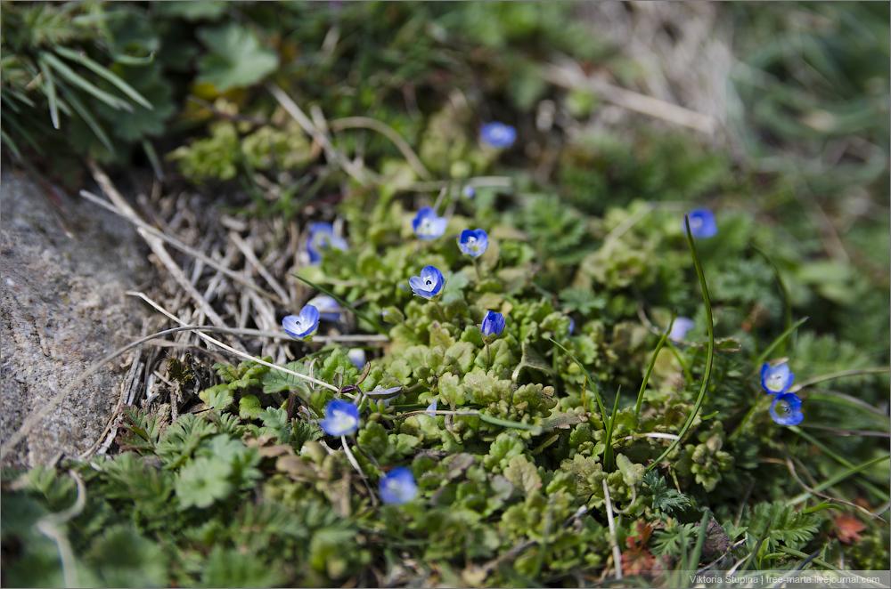 малюсенькие голубенькие цветочки