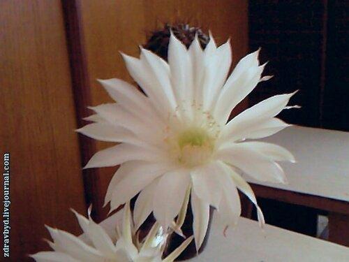 красиво цветет кактус