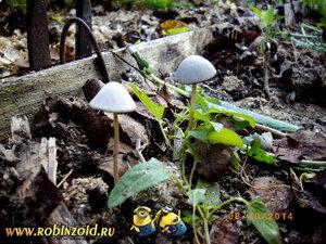 грибы у грядки