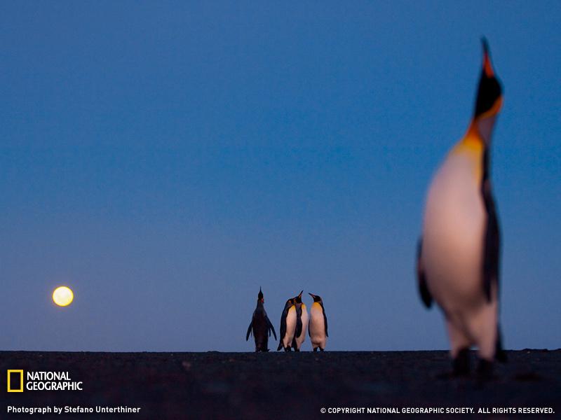Королевский пингвин в лунном свете