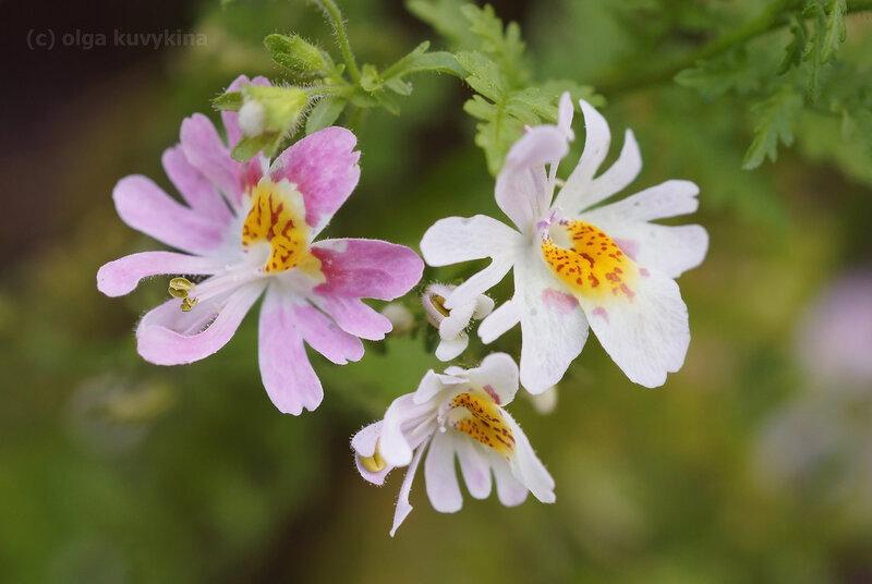 Схизантус - Schizanthus, Пасленовые