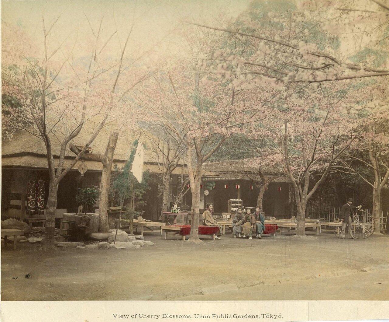 Токио. Парк Йокогама. Цветущая вишня