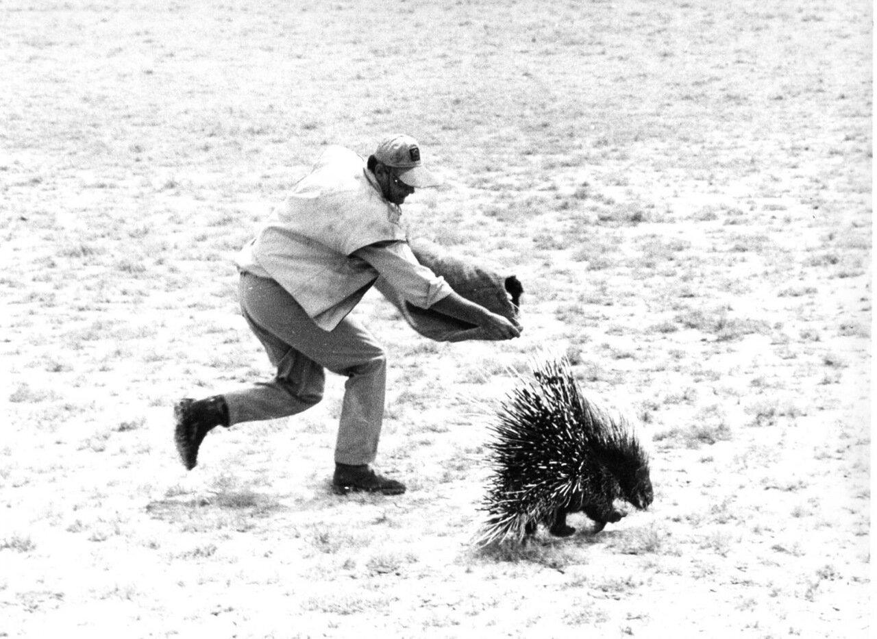 1962. Джон Уэйн осуществляет гражданский арест дикообраза на съемках «Хатари!»