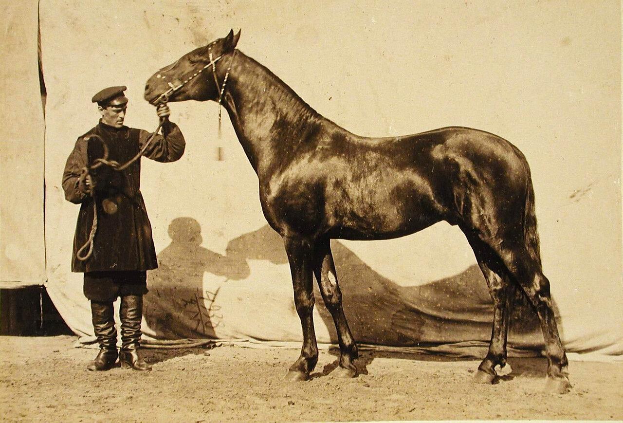 28. Жеребец конного завода Суручана, экспонирующийся на выставке