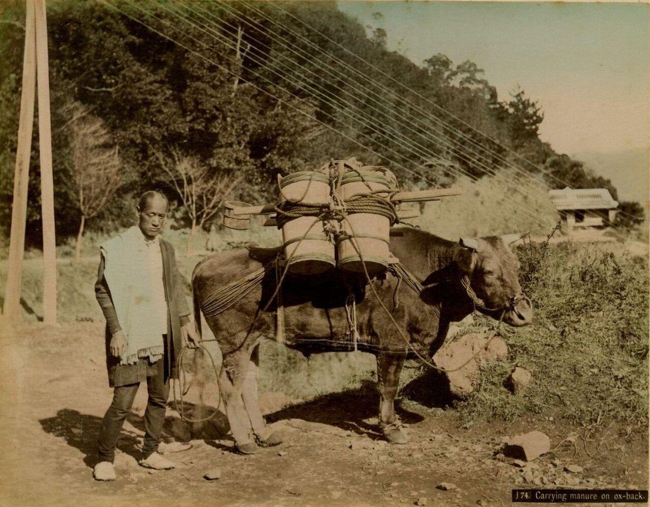 Доставка навоза на быках