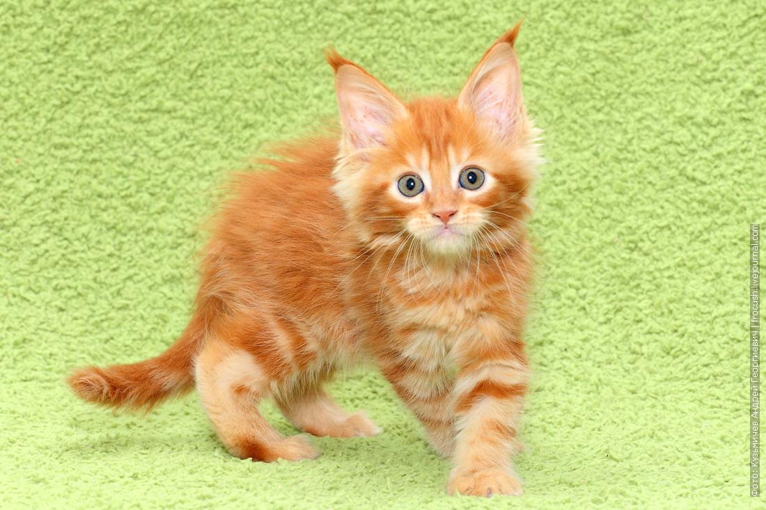 кошка красная Мейн-кун