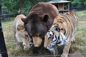 Медведь, Лев и Тигр – друзья по несчастью, которым прекрасно живется вместе