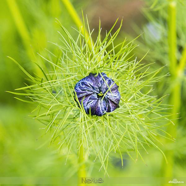 Я люблю все цветы, выпуск #108 | Jungfer im Grünen - «Девица в зелени», «Невеста с распущенными волосами», «Любовь в тумане» ...