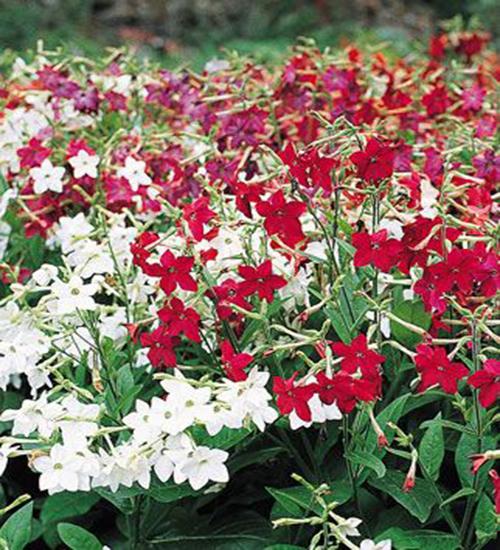 Какие цветы можно посадить под зиму - 20 однолетников-Табак душистый