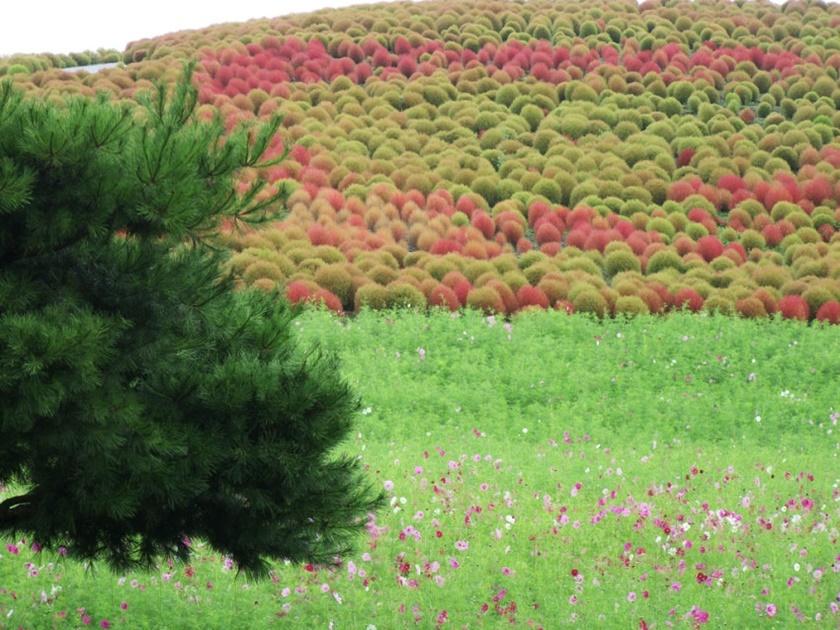 Живописный японский парк Хитати Кайхин 0 1422d8 1e74de16 orig