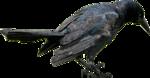 Crow-GI_AnguishedTS.png