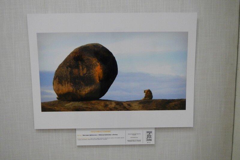 Противостояние. Викторас Дубинскас (Литва). Лев и камень. На фестивале дикой природы Золотая Черепаха