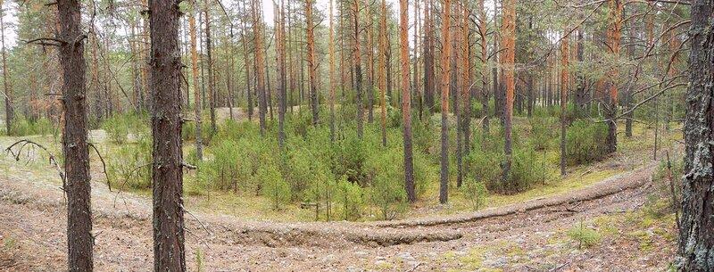Воронка среди сосен в Медведском бору