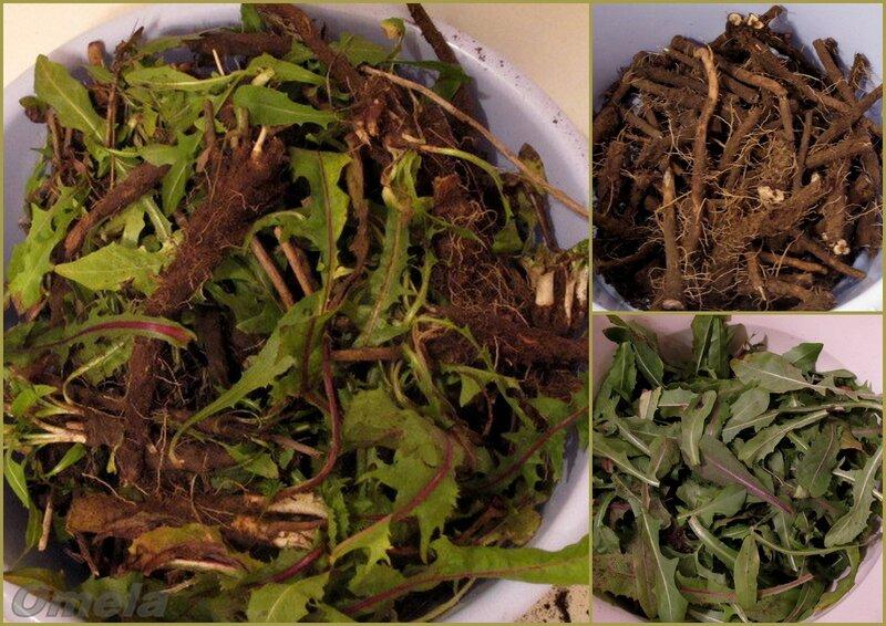 Лечебный напиток из цикория (заготовка корней)