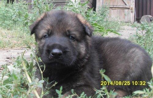 Родились щенки от Charly v. Rio Negro и Lola iz Peschanki 0_e8d2e_bd1b9eb9_L