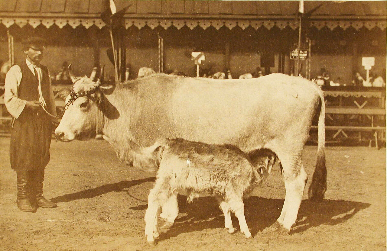 40. Корова с теленком завода Семиградова, экспонирующаяся на выставке
