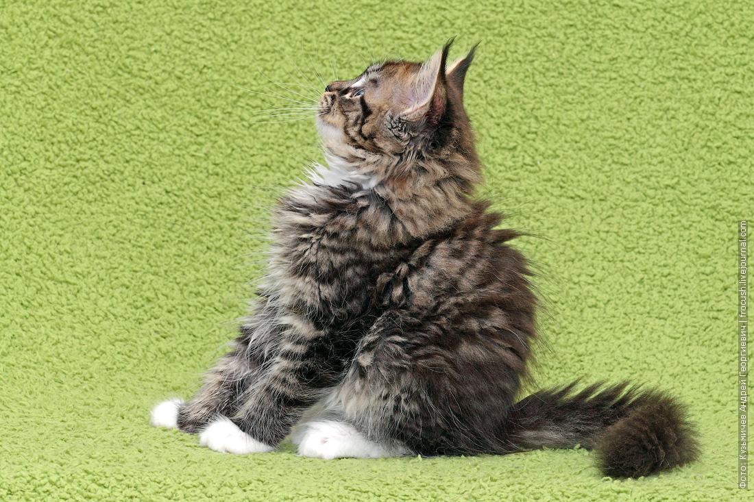 котофото котята мейн кун