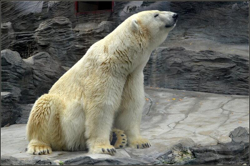 Фотосессия с белым медведем...