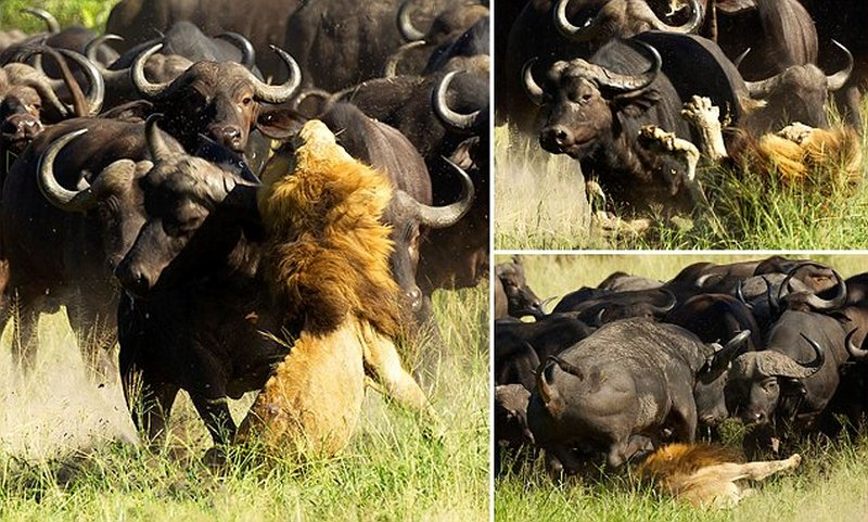 Lion Trampled To Death By Buffalo Herd