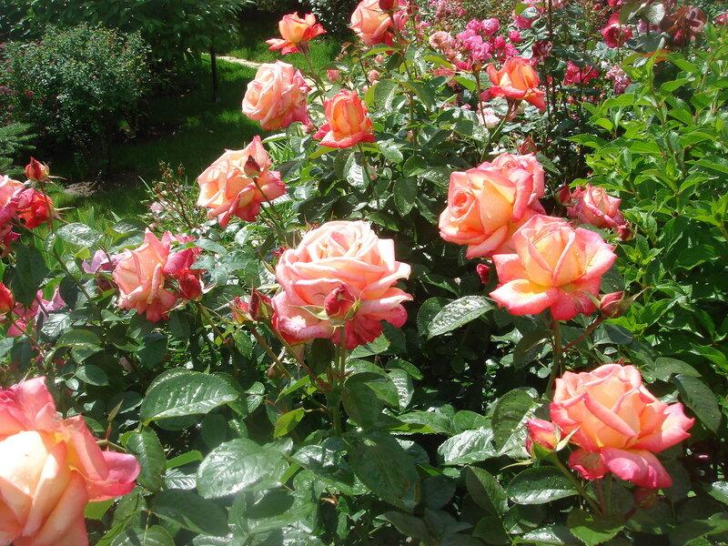 Ди Вельт РозаГруппа: Чайно-гибридные розы Сорт: Die Welt Страна происхождения: Германия (W. Kordes Sohne) 1976 Другие названия: DieKOR, The World, World Rose