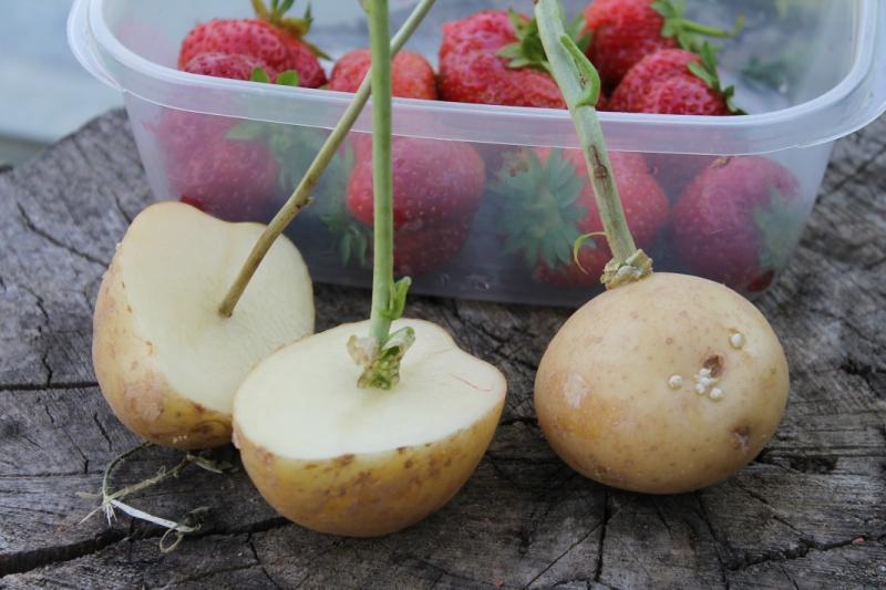 Посадка черенков смородины картошку