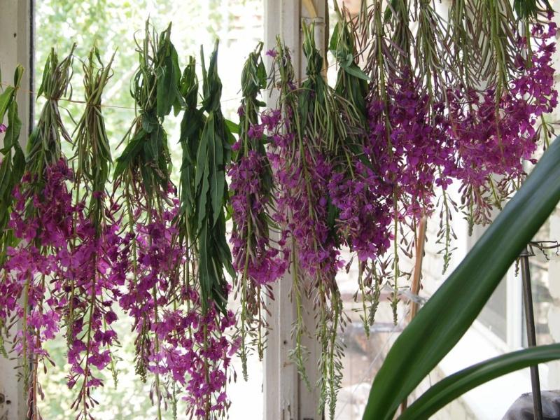 Чайные травы в вашем саду-шалфей мускатный