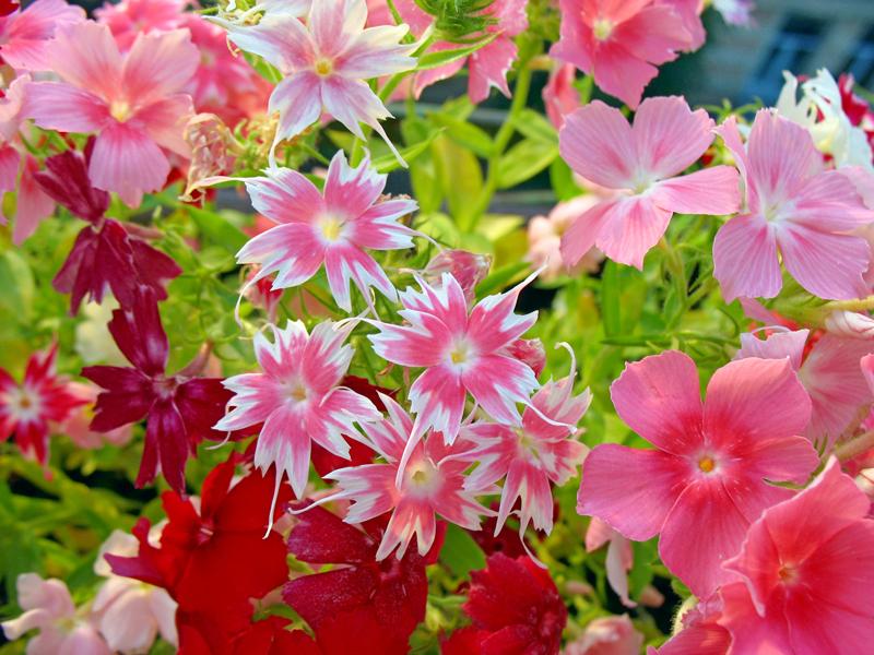 Какие цветы можно посадить под зиму - 20 однолетников--Флокс однолетний