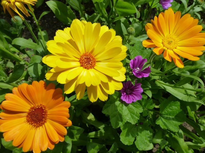 Какие цветы можно посадить под зиму - 20 однолетников-Календула