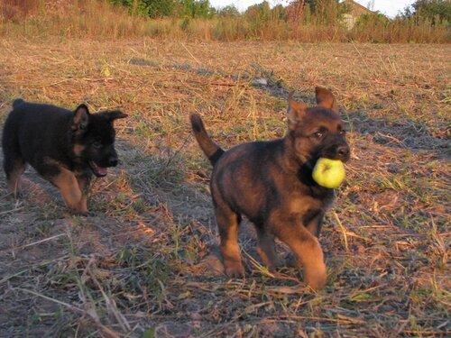 Родились щенки от Charly v. Rio Negro и Lola iz Peschanki 0_eab43_6ad19e56_L