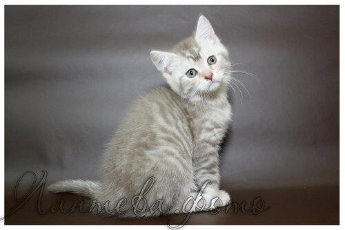 лиловый серебристый пятнистый британский короткошерстный кот