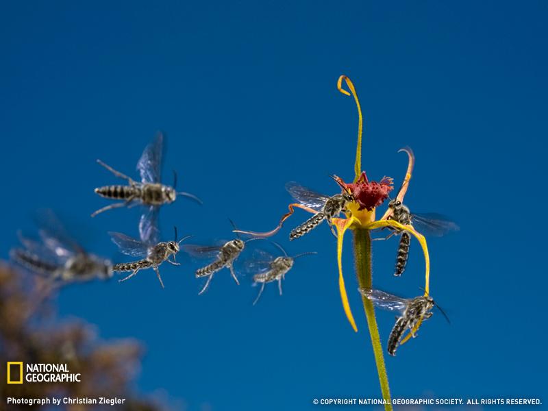 Австралийские осы летят на запах орхидеи